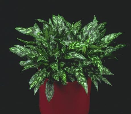'Emerald Beauty' Chinese evergreen
