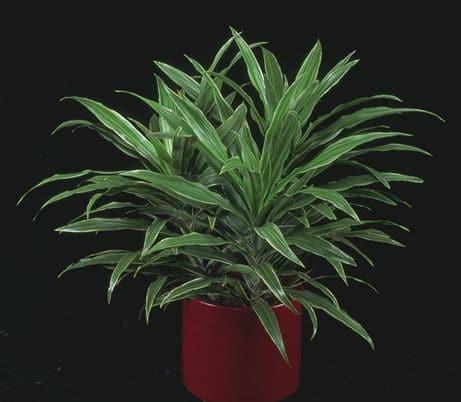 Striped dracaena