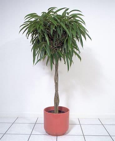 'Amstel King' fig tree