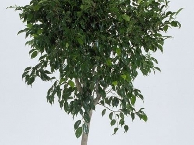 Weeping fig tree
