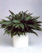 'Silver Queen' Chinese evergreen