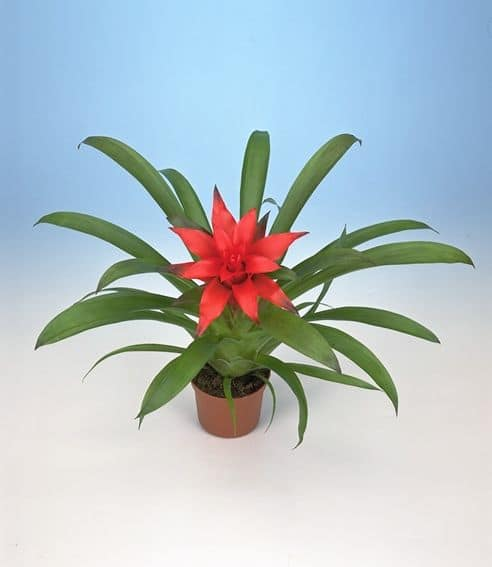 Bromeliad Double Star