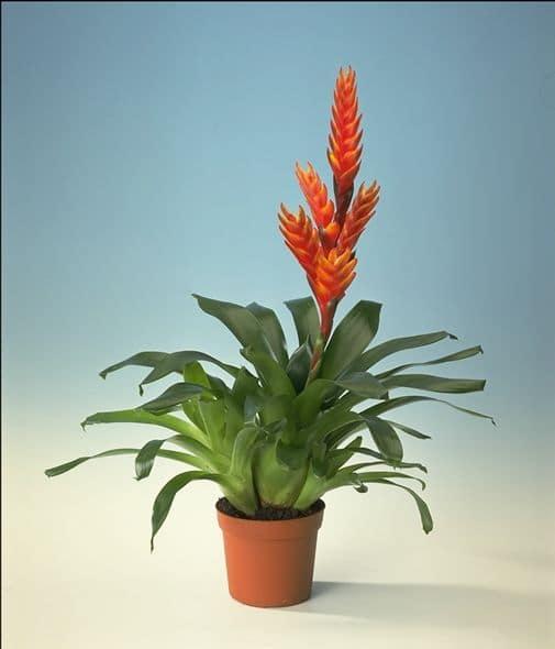 Bromeliad Arden