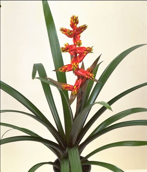 Bromeliad lingulata red & yellow