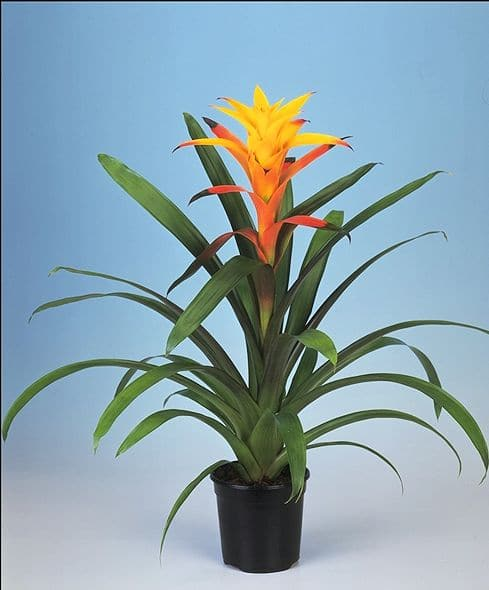 Bromeliad Marcella