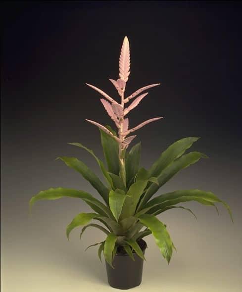 Bromeliad guzmania pink