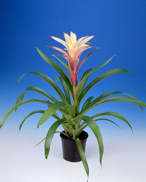 Bromeliad Margot