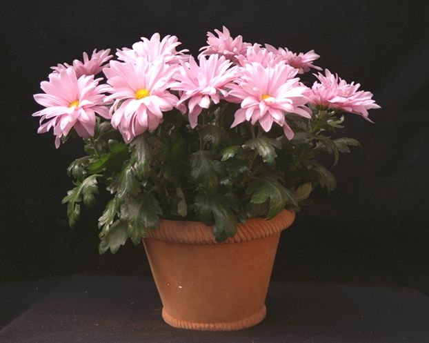 Light pink mum