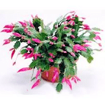 Christms cactus