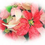 'Monet' Poinsettia