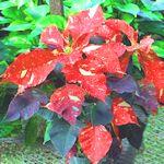 'Red Glitter' Poinsettia