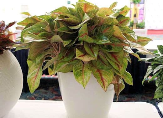 'Golden Fluorite' Chinese evergreen