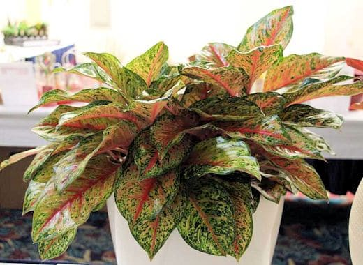 'Rainforest Sunset' Chinese evergreen